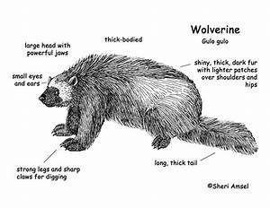 Black Bear Body Diagram