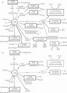 Effect Of Tatc Mutation On The Electron Transport Pathways In C  Jejuni