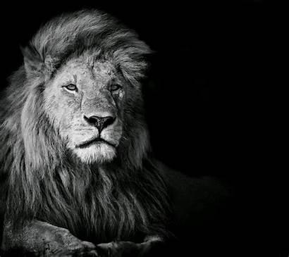 Lion Animals Wallpapers Desktop Backgrounds Background Lions