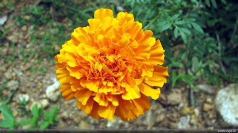 orange marigold jyothish kumar pg flickr