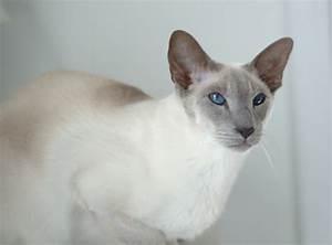 Lilac Point Siamese Cat Qmqoxgp | ANIMAL ONLINE