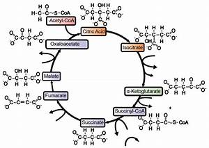 Krebs Cycle  Interactive Lyrics  Diagrams  And Flashcards