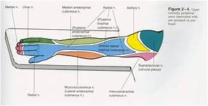 31 Best Brachial Plexus Images On Pinterest
