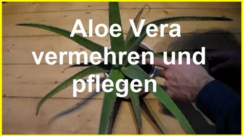 aloe vera vermehren und pflegen aloe vera kindel ableger steckling selber ziehen