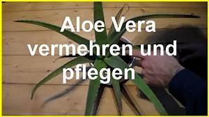 Aloe Vera Umtopfen Ableger : aloe vera vermehren und pflegen aloe vera kindel ableger steckling selber ziehen youtube ~ Indierocktalk.com Haus und Dekorationen
