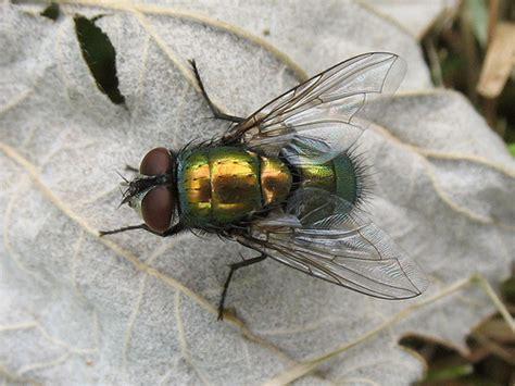des mouches pour mesurer la biodiversit 233 passeur de sciences