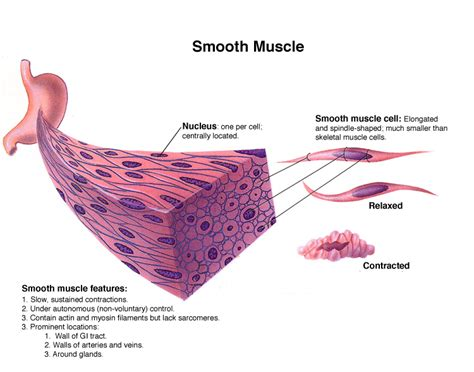Smooth muscle is also called involuntary muscle or unstriated muscle. Honors Anatomy and Physiology: Smooth and Skeletal Muscle