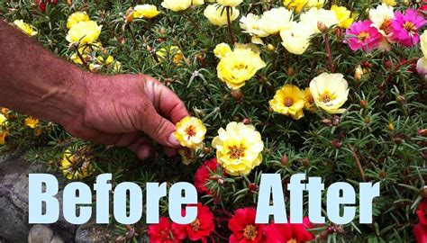 how to maintain petunias how to grow larger taller flowers incl portulacas petunias pro greenkeeper s discovery