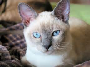 tonkinese cats tonkinese cat pictures and info