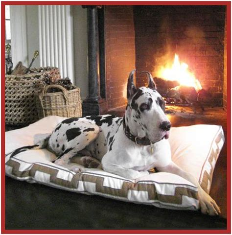 5518 great dane beds black white spotted harlequin breed great dane on bed