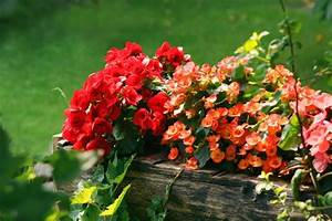 Blumen Für Schattigen Balkon : kwiaty na balkon i taras begonia stale kwitn ca taras balkon ~ Frokenaadalensverden.com Haus und Dekorationen