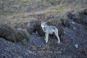 Alaska Wild Wolves