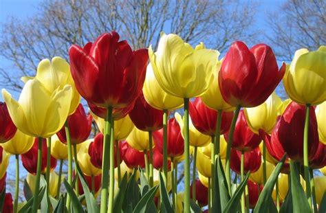 Bulbi Tulipani Quando Piantarli by Bulbi Di Tulipano Bulbi Coltivare Tulipani