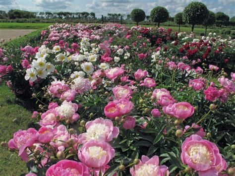 Austrumu karaliskums Latvijas dārzos - peonijas