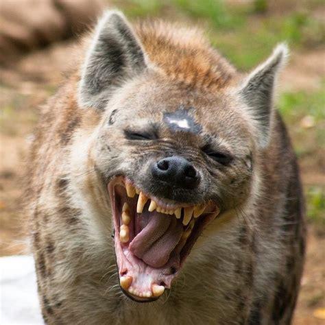 spotted hyena crocuta crocuta wild dogs animals wild
