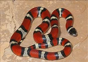 Information about Adult Apricot Pueblan Milk Snake - yousense info