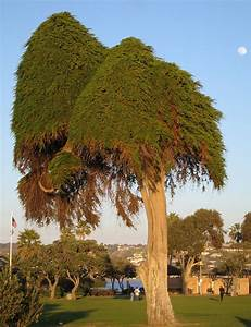 Dr Seuss Tree In La Jolla California Flickr Photo