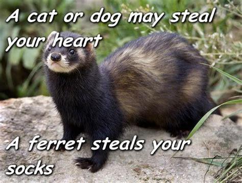 Ferret Meme - 410 best ferrets my small business images on pinterest pets ferrets and pet ferret