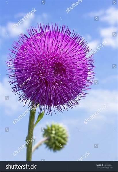 Flower Steppe Alone Sky Background Shutterstock