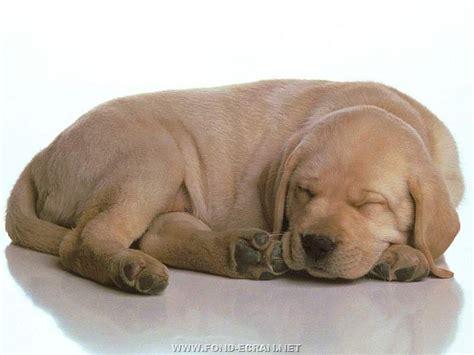 le chauffante pour chiot fond d 233 cran chiot labrador gratuit fonds 233 cran chiots chiens dormir