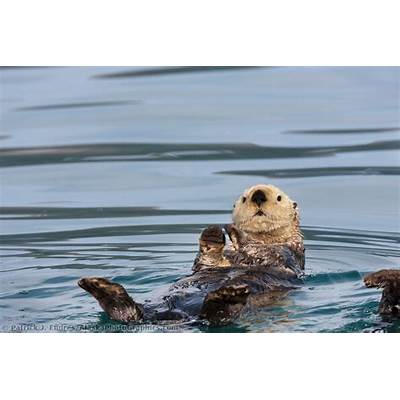 Sea otter in Port Wells Prince William Sound
