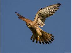 National Bird Of Belgium Common Kestrel 123Countriescom