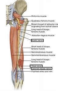Gsu Nerves Of The Lower Limb Flashcards