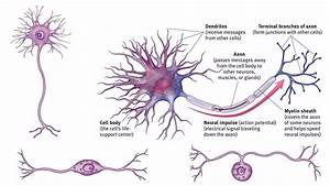 Neuron Or Nerve Cell English And Urdu  Hindi Lecture