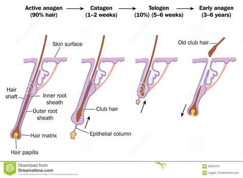 Hair growth cycle stock vector. Illustration of sheath