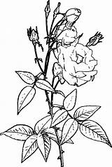 Shrub Coloring Flowering Flower Wecoloringpage sketch template