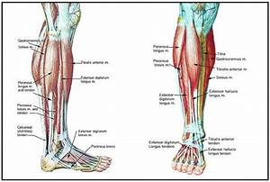 Lower Legs Muscles