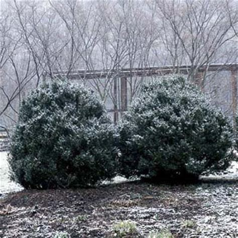 winter shrubs how to winterize shrubs how to winterize shrubs this old house