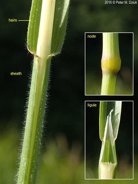 avenula pubescens downy oat grass minnesota wildflowers