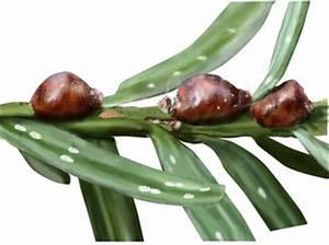 Oleander Braune Blätter : oleander kulturen kwizda agro haus garten ~ Lizthompson.info Haus und Dekorationen