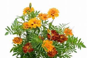 French Marigold Petite Orange (Tagetes patula) flowers ...