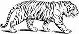 Liger Dynamite Napoleon Drawing Coloring Pages Clipartmag sketch template