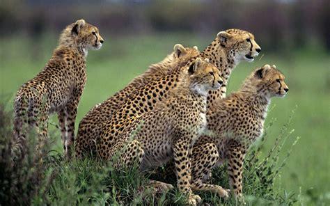cheetah full hd wallpaper  background image