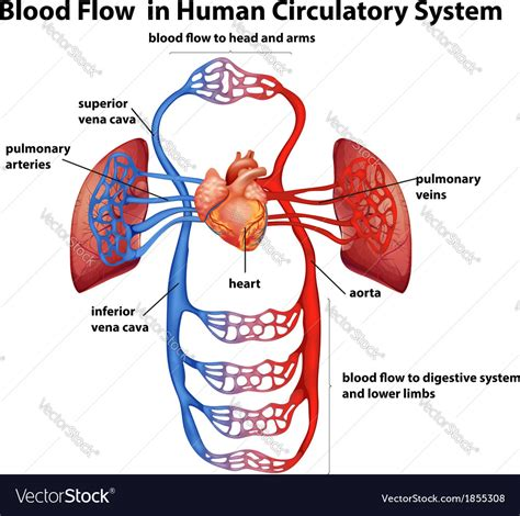 Flow Of Circulatory System  Human Body Anatomy System