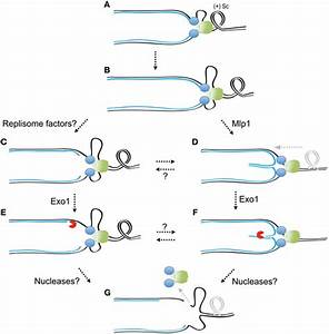 Frontiers   The DNA damage checkpoint response to ...