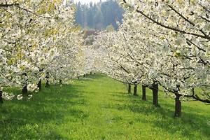 Taille De Cerisier : r gis peny coulommiers taille de cerisier seine et ~ Melissatoandfro.com Idées de Décoration
