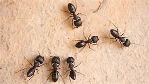 Comment exterminer les fourmis charpentières ? Trouver une location