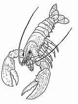 Lobster Coloring Pages Print Shrimp Printable Lobsters Body Printables Gambar Crayfish Parts sketch template