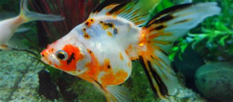 coldwater fish tank cleaning  herts aquatic care