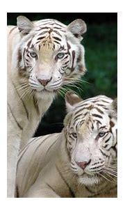 wallpaper: desktop wallpaper white tiger