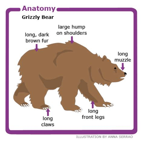 animal facts grizzly canadian geographic 604 | grizzly bear anatomy