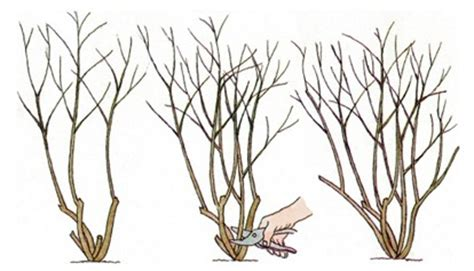 pruning climbing roses winter pruning and training climbing plants