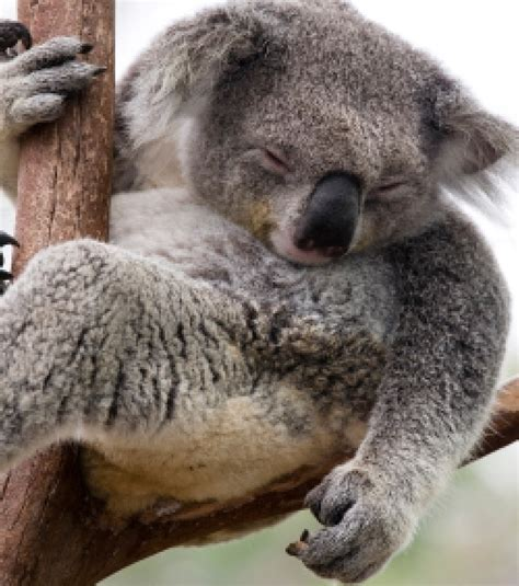 le koala devient une esp 232 ce vuln 233 rable en australie