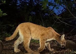 Slideshow: Mountain lion, kittens spotted feeding in Santa ...