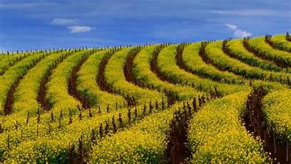 Mustard Vineyard Bing California During Carneros Springtime