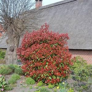 Glanzmispel Red Rubin : photinia red robin javap produktsuche ~ Michelbontemps.com Haus und Dekorationen